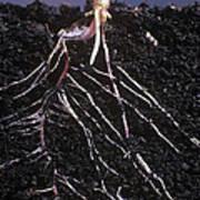 Plant Roots Art Print