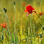 Poppies Art Print by Guido Montanes Castillo