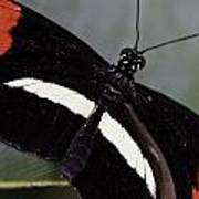Postman Butterfly Art Print
