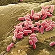 Pseudomonas Aeruginosa Bacteria, Sem Art Print
