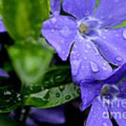 Raindrops On Sorcerers Violet Art Print