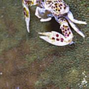 Spotted Porcelain Crab Feeding Art Print
