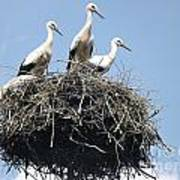 3 Storks In The Nest. Lithuania Art Print