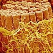 Trachea Muscle, Sem Art Print