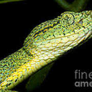 Two Striped Forest Pit Viper Art Print
