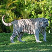35- White Bengal Tiger Art Print