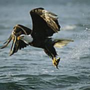An American Bald Eagle In Flight Art Print