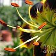 Asiatic Lily Named Black-eyed Cindy Art Print