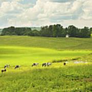 Cows Grazing On Grass In Farm Field Summer Maine Art Print