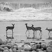 4 Deer In Surf Black And White Art Print