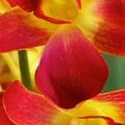 Dendribium Malone Or Hope Orchid Flower Art Print