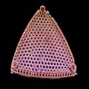 Diatom Alga, Sem Art Print