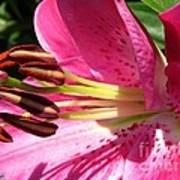 Dwarf Oriental Lily Named Farolito Art Print