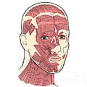 Illustration Of Facial Muscles Art Print