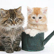 Maine Coon Kittens Art Print