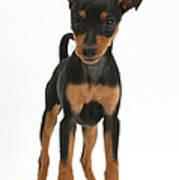 Miniature Pinscher Puppy Art Print