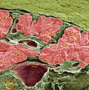 Pancreas Tissue, Sem Art Print