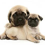 Pug And English Mastiff Puppies Print by Jane Burton