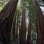 Redwoods Sequoia Sempervirens Art Print