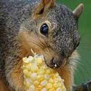 Squirrel Eating Sweet Corn Art Print