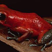 Strawberry Poison Dart Frog Dendrobates Art Print