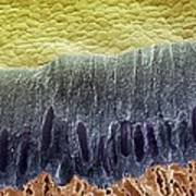 Tooth Enamel Formation, Sem Art Print