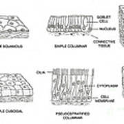 Types Of Epithelial Cells Art Print