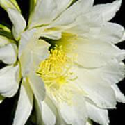 White Cactus Flower Art Print