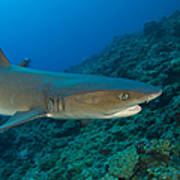 Whitetip Reef Shark, Kimbe Bay, Papua Art Print