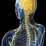 Human Nervous System, Artwork Art Print