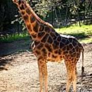 Baringo Giraffe  Art Print