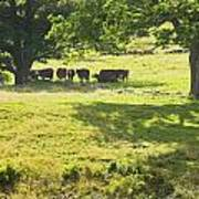 Cows Grazing On Grass In Farm Field Summer Maine Art Print