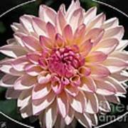 Dahlia Named Valley Porcupine Art Print