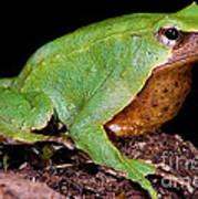 Darwins Frog Art Print