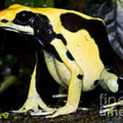 Dyeing Poison Frog Art Print