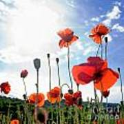 Field Of Poppies. Art Print