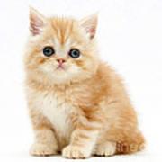 Ginger Kitten Art Print
