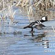 Hooded Merganser Art Print