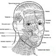 Illustration Of Facial Muscles Art Print
