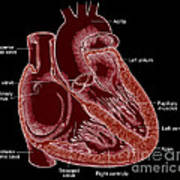 Illustration Of Heart Anatomy Art Print by Science Source