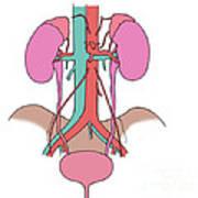 Illustration Of Urinary System Art Print