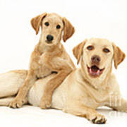 Labradoodle And Labrador Retriever Art Print by Jane Burton
