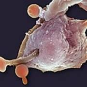Neutrophil Engulfing Thrush Fungus, Sem Art Print