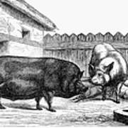 Swine, 19th Century Art Print