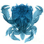 X-ray Of Deep Water Crab Art Print