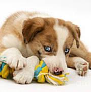 Border Collie Puppy Print by Jane Burton