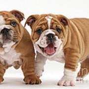 Bulldog Puppies Art Print