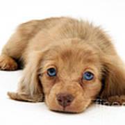 Dachshund Pup Art Print