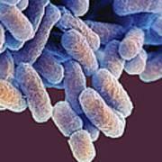 E. Coli Bacteria, Sem Art Print by Steve Gschmeissner