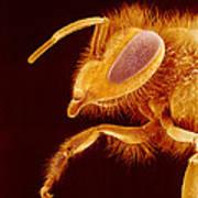 Honey Bee, Sem Art Print